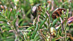 Rosemary Beetles Chrysolina americana