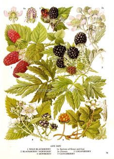 blackberry botanical print