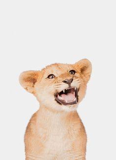 « Lion Cub » par Paws & Claws | #Animaux #Artpourenfants #Animauxsauvages #Lions #Marron #JUNIQE | Plus daffiches sur www.juniqe.fr Lion Cub, Cubs, Fox, Poster, Teddy Bear, Portrait, Animals, Kid Friendly Art, Wild Animals