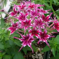 Home Garden Plant 100 Seeds Phlox Twinkle Star, Phlox Drummondii Cuspidata Flower Seeds Full Sun Plants, Blooming Plants, Outdoor Plants, Indoor Outdoor, Outdoor Ideas, Backyard Ideas, Garden Ideas, Planting Seeds, Planting Flowers