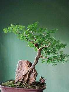 #盆栽 #bonsai art(Via:Podas)おぉ...かっこいいな、これ。根っこがいいね。(^^)盆栽の化粧砂にK砂は如何でしょう?