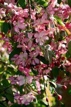 See our large selection of Crabapples for your landscape or garden, delivered to your home.