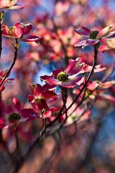 Dogwood Flowers by sarathetimelady, via Flickr.  Awesome use of the #Lensbaby here.  Great work by SaraTheTimeLady on Flickr.