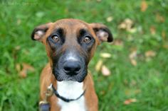 Karma Boxer & Border Collie Mix • Adult • Female • Large Close to Home Canine Rescue Minneapolis, MN  2 yrs old http://www.petfinder.com/petdetail/27636761/