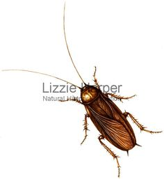 Watercolour illustration of a Cockroach (Blattodea)- illustrated by Lizzie Harper