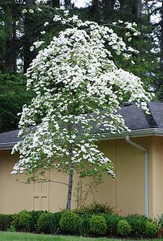 A hybrid between our native Dogwood – Cornus nuttallii, and Cornus florida, 'Eddie's White Wonder' is a heavily flowering deciduous tree with large, white, rounded bracts (flowers) that appear in spring. Summer foliage is dark green and is followed by rich red fall color. Small, red fruits appear in winter that attract songbirds. This tree has upright, pyramidal growth with slightly pendulous branches. 'Eddie's White Wonder' Dogwood is easy to grow and resistant to anthracnose.