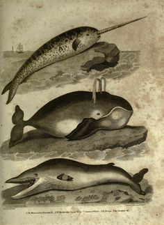 Face Illustration, Vintage Drawing, Flash Art, Sea Monsters, Gravure, Natural History, Animal Drawings, Creatures, Narwhals