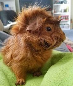 Best 120 Funny Guinea Pig Pictures Guinea pigs rarely require bathing. Should you be interested in having a guinea pig the ideal thing to do is to adopt. In case you are looking at a guinea