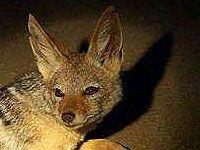 Jackal - Warthog Lodge Animal Species, Nature Reserve, Kangaroo, South Africa, Wildlife, Gallery, Animals, Baby Bjorn, Animales