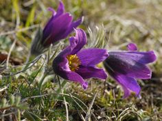 Pulsatilla vulgaris http://www.wildaboutbritain.co.uk/pictures/data/4/pasqueflower8small.JPG