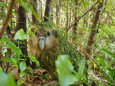 Flightless Parrot, Kiwi, Birds, Animals, Naturaleza, Animales, Animaux, Bird, Animal