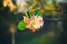 Apple Blossom by Radu Muresanu on 500px