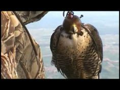▶ Peregrine falcons - How fast can they go? - YouTube