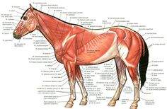 Parts of a Horse Diagram muscles | horse superficial muscles drawing sketch image illustration