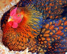 Golden Laced Wyandotte hens will lay around 200 eggs a year with an exceptional hen laying around 240 eggs a year. The eggs are brown or tinted. The hens weigh around 6 pounds.