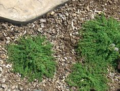 Mint Thyme plants planted in between flagstones helps to soften edges. Thyme Plant, Creeping Thyme, Flagstone, Stepping Stones, Lavender, Mint, Yard, Landscape, Outdoor Decor