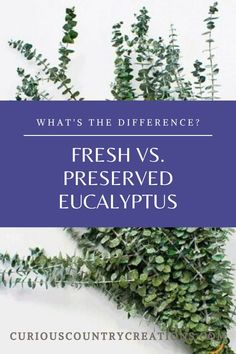 Eucalyptus leaves and branches can come fresh, dried, or preserved and there are good uses for all of them.   So, what are the differences and why should you choose one kind over another?  Fresh vs. Preserved Eucalyptus  Fresh Eucalyptus is usually bought at fresh flower stores and has the most scent but will quickly dry up. It will become brittle and lose its scent in one to two weeks. DriedDecor.com   #bouquets #eucalyptus #PreservedEucalyptus #weddingbouquet