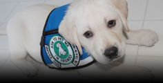 Train your own family pet to be a diabetic service dog