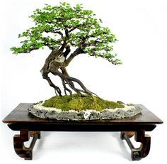 Image from http://www.bonsai4me.com/Gallery/Gal%20Philippine%20Bonsai/Philippine%20bonsai%20show%20(2).JPG.