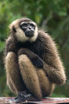 Borneo Agile Gibbon