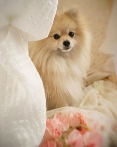 This looks just like our Pom Noogie!