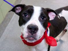 SAFE 01/09/15 --- Manhattan Center   TURDUCKEN - A1021689 *** EXPERIENCED HOME ***  FEMALE, BLACK / WHITE, PIT BULL MIX, 2 yrs STRAY - STRAY WAIT, NO HOLD Reason STRAY  Intake condition EXAM REQ Intake Date 11/25/2014,  https://www.facebook.com/photo.php?fbid=923626517650228 +++++++++VERY FRIENDLY++++++++