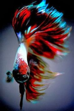 Resultado de imagem para аквариумные рыбки петушки