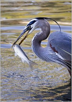 Great Blue Heron. One of my favorite birds. Beatuiful, light, powerful, and graceful.