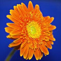 Gerbera Flower Aesthetic, Blue Aesthetic, Gerbera Jamesonii, Orange Color Combinations, Transparent Flowers, Happy Colors, Orange Flowers, Blue Orange, Color Splash