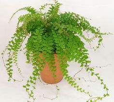 Adiantum caudatum Common name(s): Walking, Tailed or Trailing Maidenhair (Fern) Synonyme(s): N/A Family: Pteridaceae Origin: South Eastern Asia More infos: . Bonsai, Maidenhair Fern, California Native Plants, Ferns, House Plants, Home And Garden, Gardening, Country, Inspiration