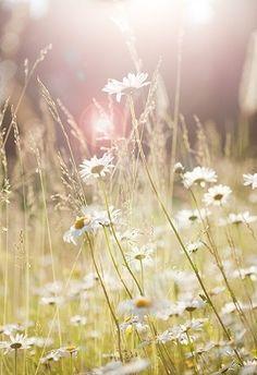 Daisies sweet daisies.