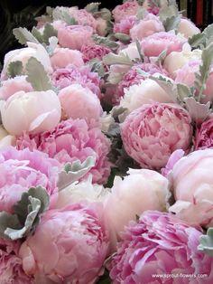 Romantik şakayık çiçeği