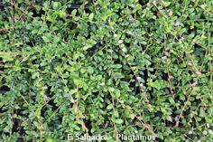 arándano rojo. http://www.plantamus.es/comprar-frutales/comprar-planta-de-pequenos-frutos-
