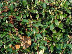 Cotoneaster salicifolius Parkteppich, Madárbirs Plants, Plant, Planets