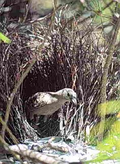 Bower Bird at Home.
