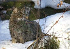 Дикий лесной дальневосточный кот