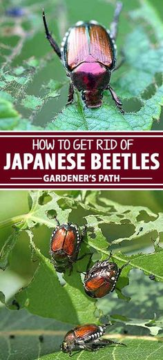 An iconic troublemaker in the backyard, the Japanese beetle is an invasive species that's been causing damage to American gardens for over a hundred years. It's a difficult pest to control, but with help from Gardener's Path, we can learn about this bug a Garden Insects, Garden Bugs, Garden Pests, Garden Fertilizers, Gardening For Beginners, Gardening Tips, Container Gardening, Organic Gardening Catalogue, Japanese Beetles