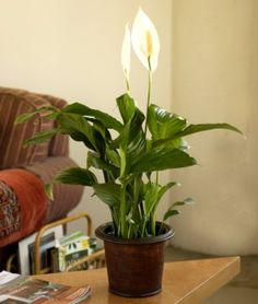 Air purifying Peace Lillies