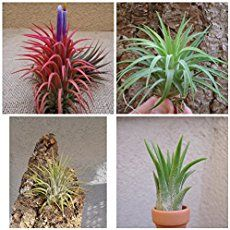 Have you adopted one of these spiky Tillandsias just to have it turn brown and crunchy? It's not your fault, air plants just require a different kind of care than we are used to with our houseplants. Once you know what to do, you will find  that air plants are one of the easiest and most versatile indoor plants to take ...