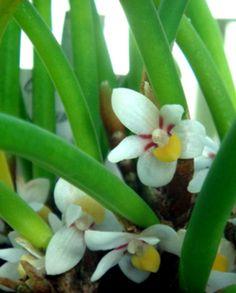 Ceratostylis incognita ~ Orchidee