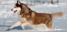 El Husky siberiano es una raza de perro de trabajo originaria del noreste de Siberia (Chukotka, Rusia). Esta raza presenta un acusado parecido con el lobo.