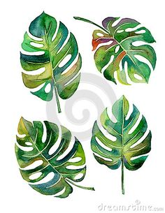 Split Leaf Philodendron watercolor on white background vector,illustration Leaf Drawing, Plant Drawing, Painting & Drawing, Illustration Botanique, Leaf Illustration, Art Illustrations, Watercolor Flowers, Watercolor Paintings, Leaf Paintings