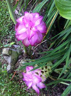 El  rosa de mi jardín