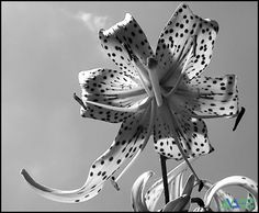 best Black And White Flowers photos