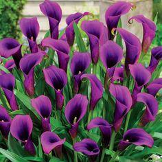 Flower Bulbs - Flower Power Calla Lily