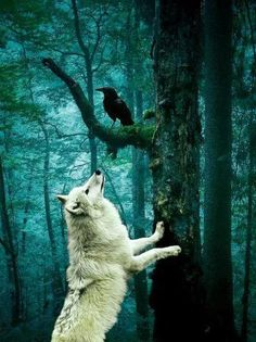 Raven settles in tree as wolf looks up. This reminds of Rave (my raven shifter from Raven Moon) and Maddox, her werewolf love interest. Raven And Wolf, Wolf Love, Bad Wolf, Beautiful Creatures, Animals Beautiful, Cute Animals, Wild Animals, Canis, Wolf Pictures