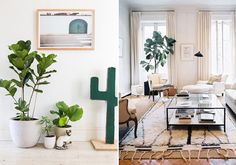 It's been decided, I need a fiddle leaf fig tree for the living room