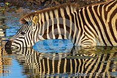 Wildlife Zebra Drinking Reflections Wildlife animal reserve water hole with zebra drinking with body mirror reflections by ChrisVanLennepPhoto, via Shutterstock Body Mirror, Landscaping Images, Wildlife Park, Water Reflections, Morning Light, New Art, Places To Visit, Royalty Free Stock Photos, Africa