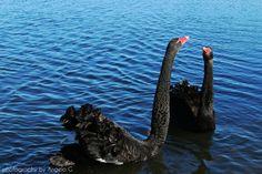 Wildlife photography - lake wendouree, ballarat!