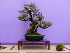 Bonsai Photo of The Day 12/30/16
